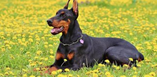 Dobermann Pinscher adulto.