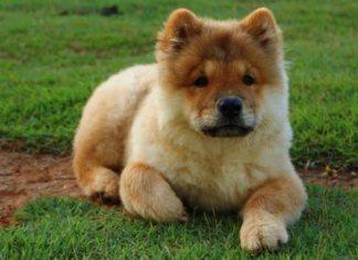Chow Chow cucciolo.