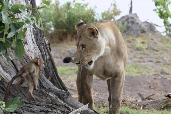 μπαμπουίνος λιοντάρι
