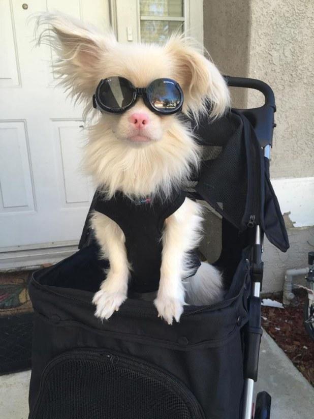 Σκύλος με αλφισμό παίρνει ειδικά γυαλιά για να προστατεύεται από τον ήλιο σκύλος με αλφισμό Σκύλος σκύλοι αλφισμός