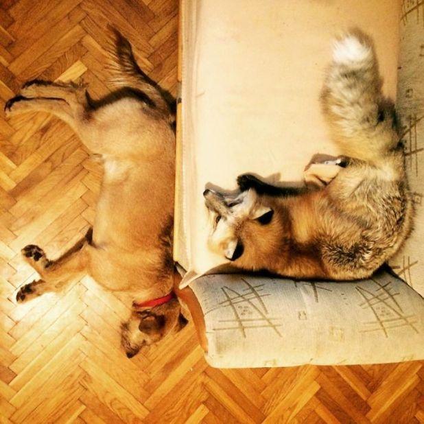 Σκύλος αλεπού