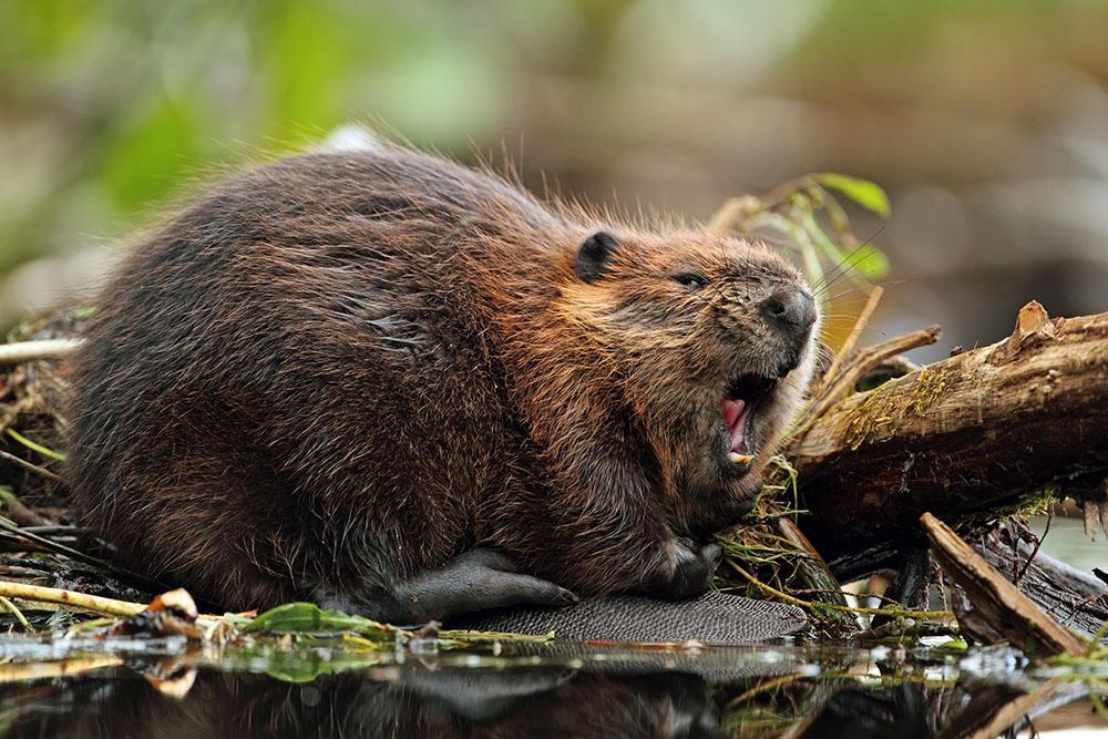 pender island beavers