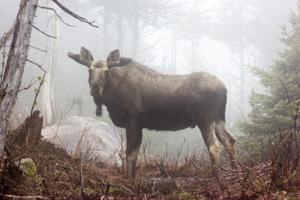 ParksCanada-CBHNP-orignal-moose2