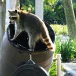 raccoon removal charlottesville virginia