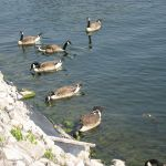 canada geese removal