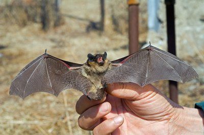 Animal Removal Services of Virginia are bat removal exclusion experts so call us when you have a Virginia bat problem.