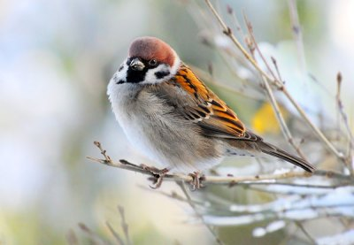 The House Sparrow can invade your Virginia home. This nusiance bird removal job demands Animal Removal Services of Virginia.