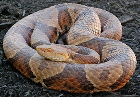 Animal Removal Services Of Virginia - Humane Snake Trapping Removal Experts photo of an eastern copperhead.