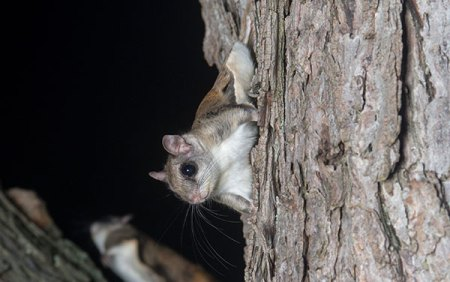 Animal Removal Services Of Virginia's flying squirrel removal may have to employ habitat modification in your area.