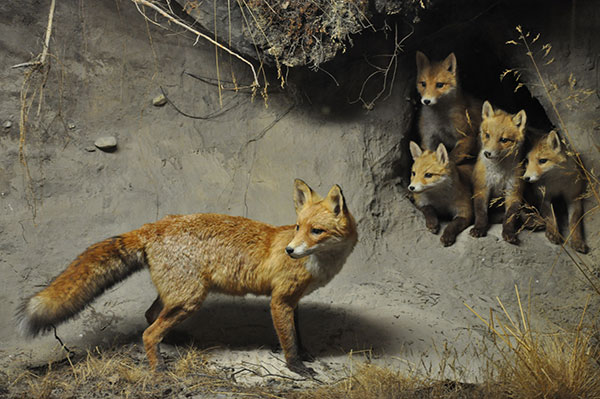 Animal Removal Services of Virginia offers fox trapping removal services second to none!
