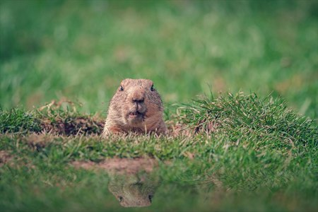 This groundhog is no match for Animal Removal Services Of Virginia Humane Groundhog Trapping Removal Experts