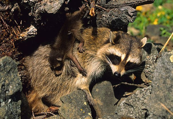 Animal Removal Services of Virginia offers fox trapping removal services  throughout Virginia.