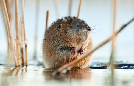 Damage caused by a muskrat is primarily due to their burrowing activity into farm ponds or reservoirs. Animal Removal Services Of Virginia - Humane Muskrat Trapping Removal Experts
