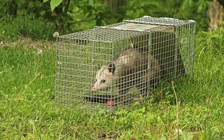 Opossum have no fear of boxes, cages or traps so they are easy to catch. Call Animal Removal Services Of Virginia, THE  Humane Opossum Trapping Removal Experts