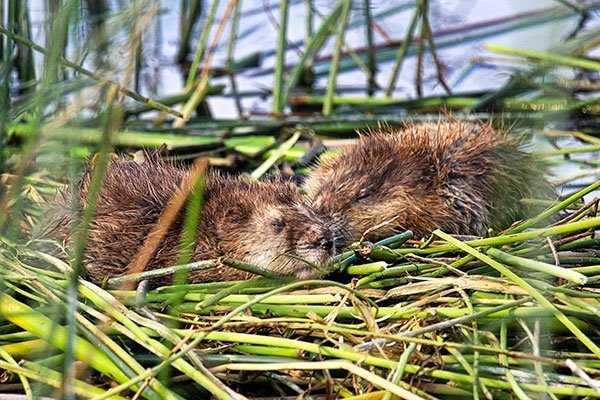young muskrats sleeping. For all you muskrat trapping removal needs contact Animal Removal Services Of Virginia.