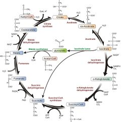 Explain Krebs Cycle With Diagram 3 Position Ignition Switch Wiring The Citric Acid