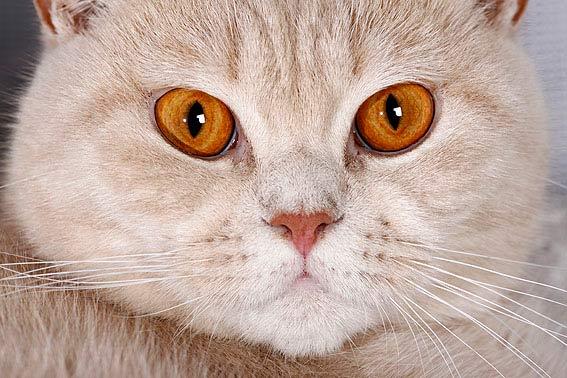 Britisch Kurzhaar Katze  Alle Infos zur Rasse