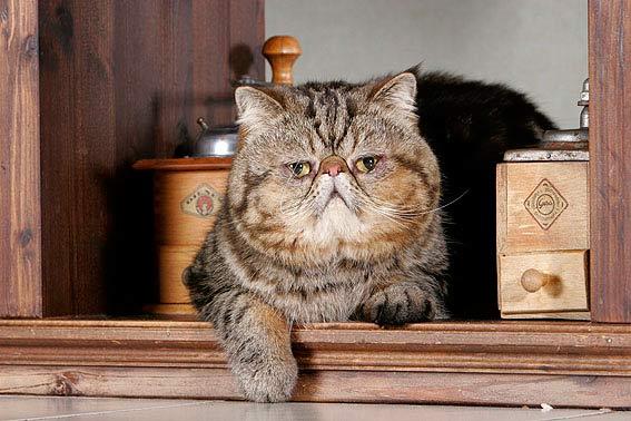 Groe Katzenrassen  bersicht und Bilder