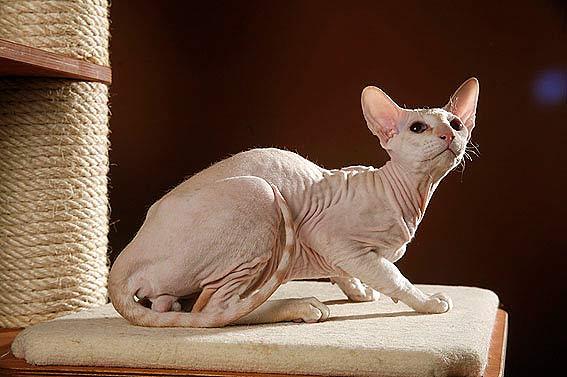 Nacktkatzen  Katzen ohne Fell in der bersicht