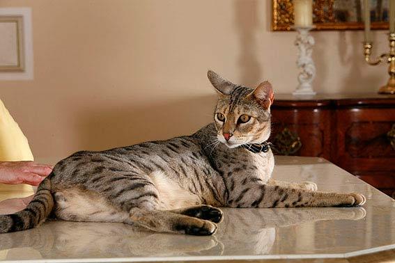 Große Katzenrassen übersicht Und Bilder Die Tierexperten