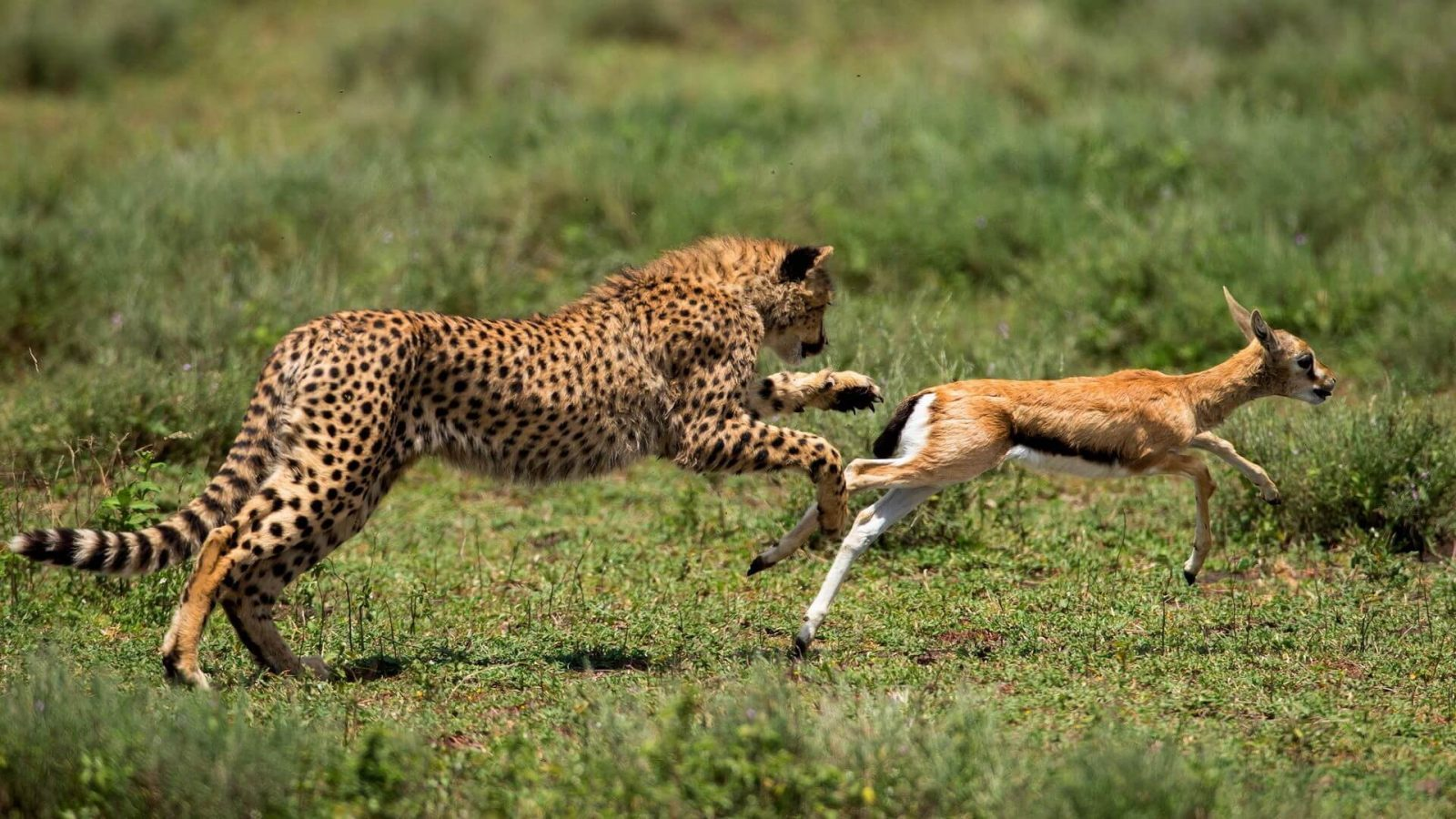 Jaguar Animal Wallpaper معلومات عن الحيوانات المفترسة عالم الحيوانات