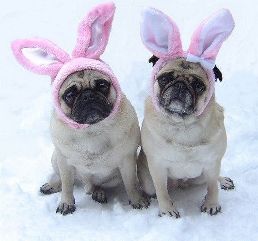 Cute Pug Wallpaper For Desktop Adorable Dogs And Cats Dressed Up For Easter Animals Zone