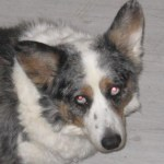 In memory of Tanner,  Corgi of Deborah Turner