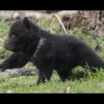 Bern:  the bear pits are gone,  but culling continues