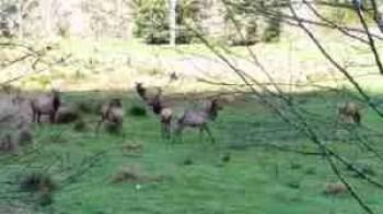 Roosevelt elk. (Beth Clifton photo)