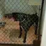 shelter pit bull