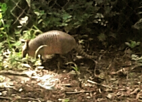 Armadillo. (Trish Conner photo)