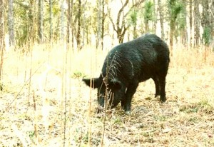 Feral pig. (University of Florida photo)