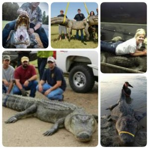 "From Google search for recent ""record gator"" photos."