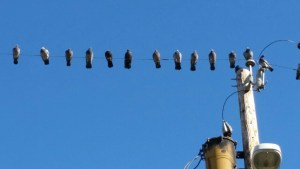 Pigeons wait to see if justice will finally be served. (Beth Clifton photo)