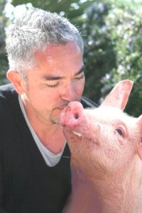 Kissing a pig who has lost part of an ear does not make the pig well. But this was not the same pig anyhow.