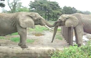 Maliaka & Shenga (Henry Doorly Zoo photo)