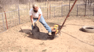Hog-dogger stepping on pig's head. (From YouTube video.)
