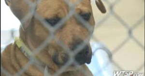 Pit bull at the Hillsborough County Animal shelter. (From WTSP video.)