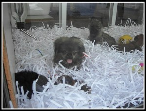 Puppy in shredded paper. (Flickr photo)