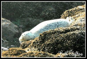 California sea lion. (Beth Clifton photo)