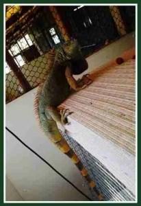Green iguana. (Dave Pauli photo)