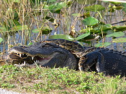 "Pythons evolved as primarily predators of crocodilians;  the python constricting mode of attack takes advantage of the crocodilian ""death roll.""  Here a python attacks an American alligator.  (Wikipedia photo)"
