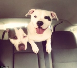 Two of Alexandra Griffin-Heady's pit bulls.