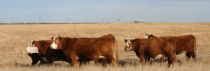 Hereford cattle at the U.S. Meat Animal Research Center.  (USDA photo)
