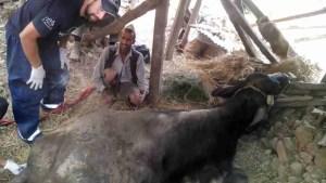 Ben Brown, VMD, examines injured buffalo at Phatkeswor Melamchi, Sidhupalchowk district. (G.P. Dahal photo)