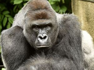 Harambe. (Jeff McCurry/Cincinnati Zoo & Botanical Gardens photo)