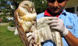 Owl rescued by Jiv Daya team.