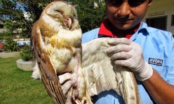 Owl rescued by Jiv Daya team.