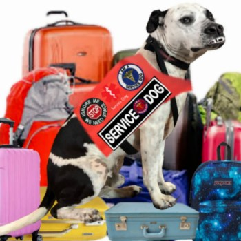 A pit bull service dog on luggage