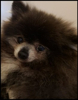 An elderly pomeranian looks at the camera.